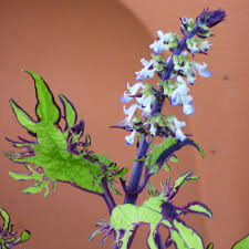 Plants Blooming Do Coleus Plants Have Flowers U2013 Information About Coleus Plant