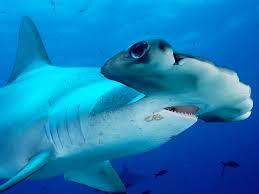 shark week the great hammerhead shark album on imgur
