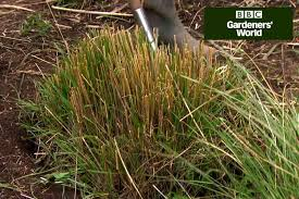 how to plant annual grasses in borders gardenersworld