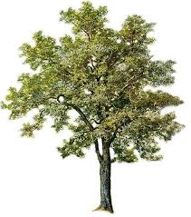 sparse pine tree clipart clip library