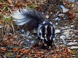 eastern spotted skunk great smoky mountains association
