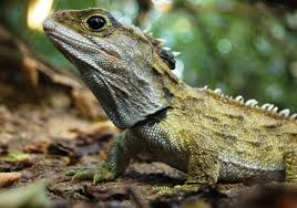 native plants new zealand explainer how invasive species ratted out the tuatara science