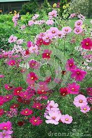 Long Blooming Annual Flowers - decorative spring garden flower bed with blooming primula and