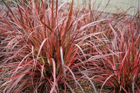 pennisetum fireworks ornamental grass plant library pahl s