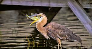 Fish For Backyard Ponds Keeping Tropical Fish In Outdoor Ponds Dangers And Preparing For