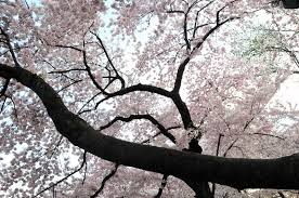 National Cherry Blossom Festival by National Cherry Blossom Festival In Washington D C