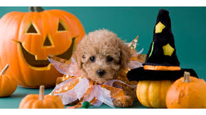 cute dog happy halloween 4k wallpapers free 4k wallpaper