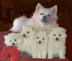 care for american eskimo dog american eskimo dog history