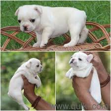 boxer dog quikr french bulldog puppy for sale find a naughty friend in dogs in