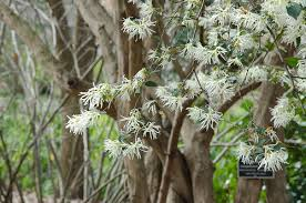 White Flowering Shrub - spring flowering shrub loropetalum chinense