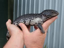 tiliqua rugosa shingleback bobtail stump tail 15