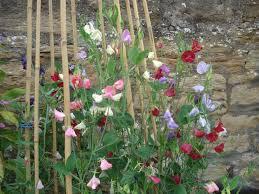 calla lillies gardeningforlawyers