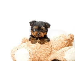 affenpinscher for sale ohio best 20 local puppies for sale ideas on pinterest chihuahua