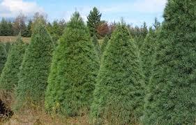 white pine trees white pine wholesale christmas trees