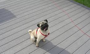 1 week old bichon frise bichon frise maltese poodle shih tzu designer breeds puppy