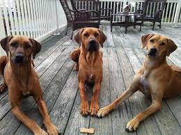belgian sheepdog pros and cons dog breeds iv the good the bad and the ugly e g i don u0027t need it