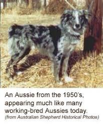 australian shepherd fur australian shepherd red bi australian shepherds pinterest