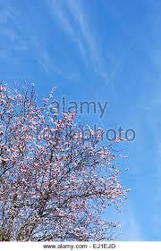 japanese plum tree stock photos japanese plum tree stock images