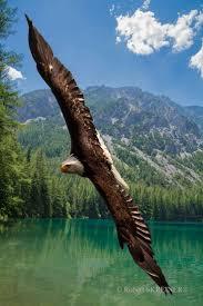 best 25 bald eagle wingspan ideas on pinterest eagles bald