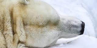 bbc earth can polar bears be saved