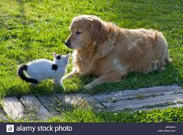 domestic cat and golden retriever playing in the backyard stock