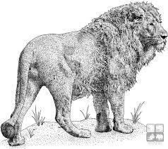 african lion panthera leo art color illustrations