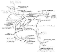 Floor Of The Cranium Nerve Cranial Nerve Vii General Information Iowa