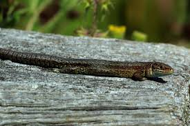 viviparous lizard wikipedia