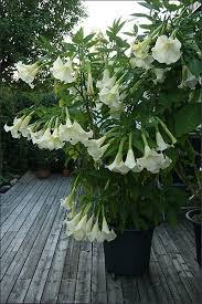 Fragrant Tropical Plants - angel trumpet white tropical beauty huge fragrant trumpet