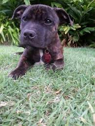 american pitbull terrier yavru pitbull german shepherd mix the shepherd pit german shepherd