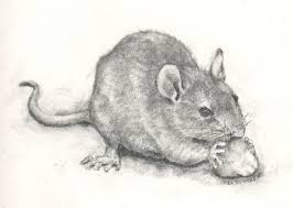 drawn rodent rat pencil and in color drawn rodent rat