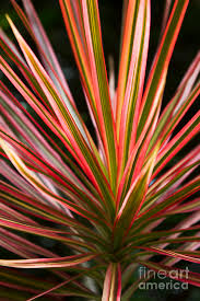 ti plant ti plant cordyline terminalis ribbons photograph by mau