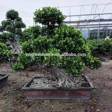 bonsai tree bonsai tree suppliers and manufacturers at alibaba com