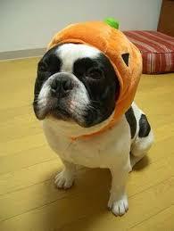 Halloween Costumes Bulldogs Don U0027t Mess Pumpkin Bulldogs Halloween Costume