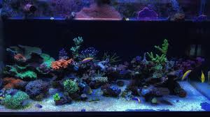 Coral Reef Home Decor From Reef Bank To Fish Tank How The Aquarium Trade Can Impact
