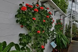 file crathes castle garden climbing pelargonium trained against a