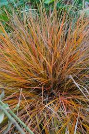 carex testacea orange new zealand sedge prairie indian