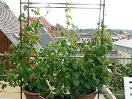 kletterpflanzen fã r balkon rankgitter selber bauen fertige rankhilfe fr brombeeren with