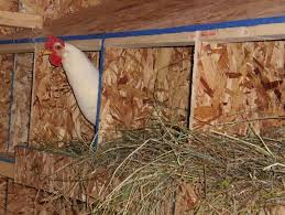 stories from neighboring coops rescuing chickens community chickens