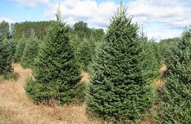 canaan balsam fir wholesale trees