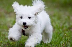 bichon frise fluffy small fluffy dog breeds fluffy dog list u2013 i love all my dogs