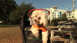 Halo For Blind Dogs Blind Dogs Get Second Chance With U0027halo U0027 Device Orlando Sentinel