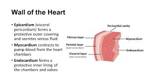 Heart Wall Anatomy Cardiovascular System The Heart Ppt Video Online Download