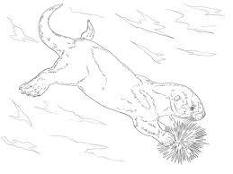 sea otter eating sea urchin coloring animal