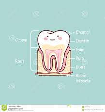 tooth anatomy images choice image learn human anatomy image
