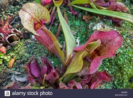 american native plants carnivorous purple pitcher plant northern pitcher plants stock