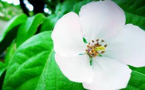 flower white leaves wallpaper 2560x1600 22940