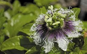 flower fruit easy guide to growing granadillas