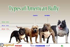 american pitbull terrier vs siberian husky american bully dog characteristic appearance and picture
