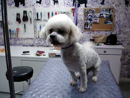 poodle x bichon frise how long will it take my bichon u0027s shaved coat to grow back